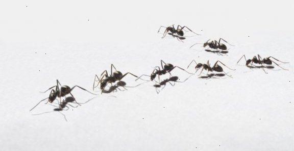 kanel mod myrer